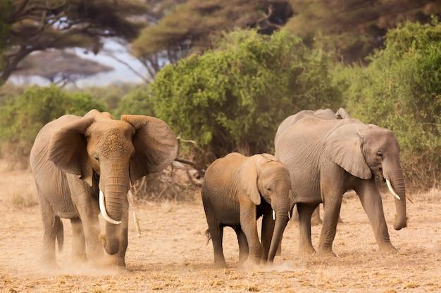 Słonie afrykańskie w parku narodowym amboseli. kenia, afryka.