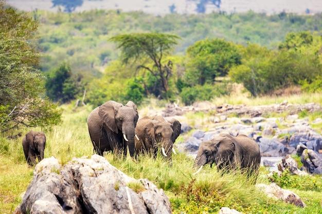Słonie afrykańskie w parku narodowym masai mara. kenia, afryka.
