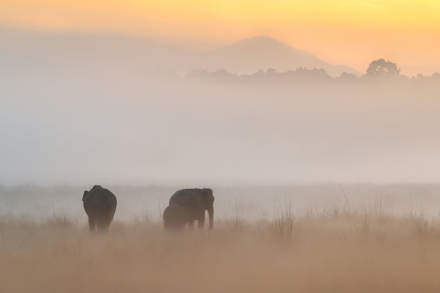 Słonie azjatyckie spacerują w naturalnym środowisku podczas złotego wschodu słońca