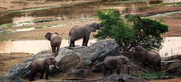 Słonie jedzą na sawannie