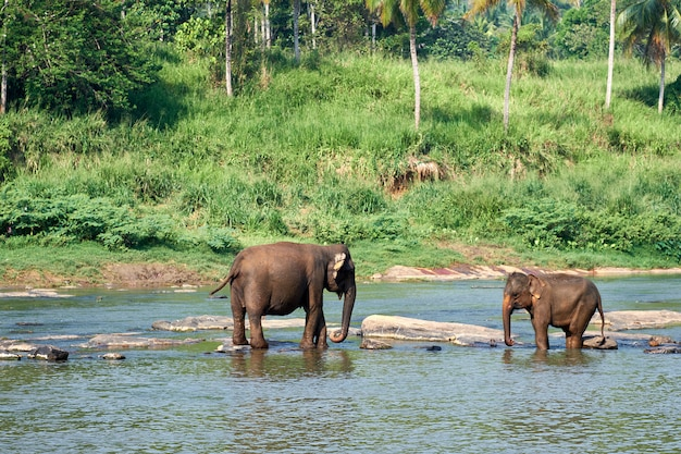 Słonie kąpać się w dżungli rzece sri lanka