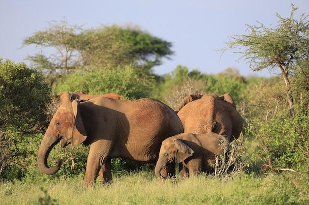 Słonie stojące obok siebie na zielonym polu w kenii, w afryce