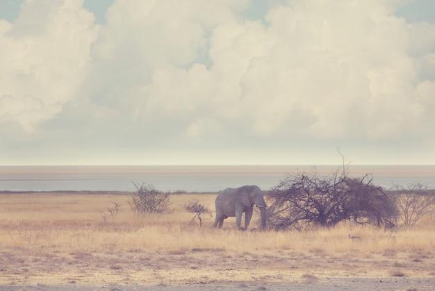 Słonie w afrykańskiej sawannie.