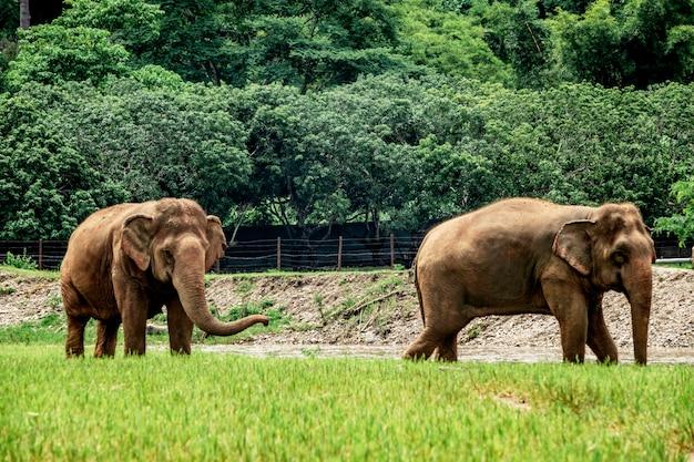 Słonie w chiang mai. elephant nature park, tajlandia