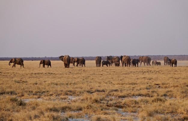 Słonie w etosha national park - namibia