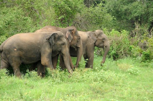 Słonie w parku narodowym na sri lance