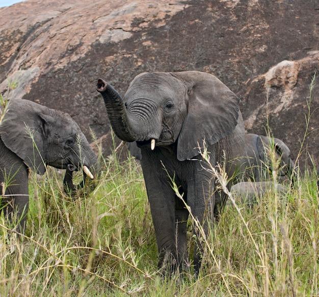 Słonie w parku narodowym serengeti