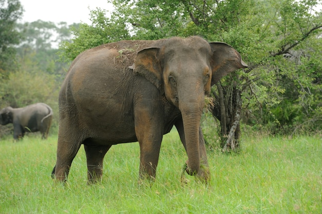 Słonie w parku narodowym sri lanki