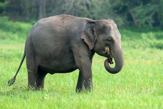 Słonie w parku narodowym yalla na sri lance