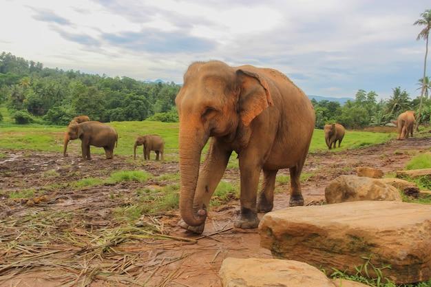 Słonie w schronisku pinnawella na sri lance. świat zwierząt sri lanki. fotografia słoni.