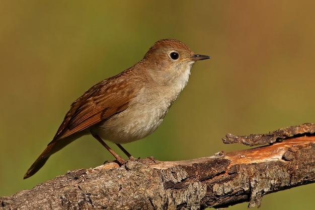 Słowik pospolity, ptaki, ptaki śpiewające, luscinia megarhynchos