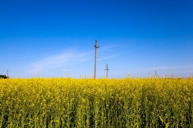 Słupy energetyczne na polu, na którym kwitnie rzepak. niebieskie niebo.