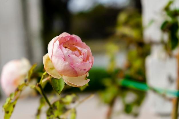 Słynna odmiana pnąca pierre de ronsard o jasnoróżowej róży z małymi ciemnymi plamkami, uprawiana w ogrodzie różanym palermo w buenos aires. rośliny ozdobne