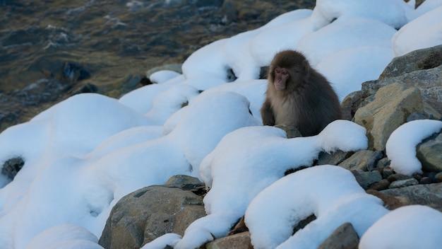 Słynne małpy śnieżne w pobliżu naturalnej rzeki ośnieżonej góry w nagano w japonii. makaki japońskie na świeżym powietrzu w pobliżu wody w sezonie zimowym. macaca fuscata