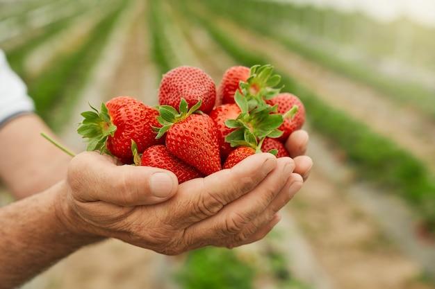 Smaczna dojrzała czerwona truskawka w dłoni fermer