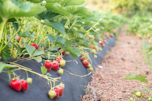 Smaczne dojrzałe jagody leżą na specjalnym błonniku, aby zapobiec ich zabrudzeniu i wzrostowi chwastów