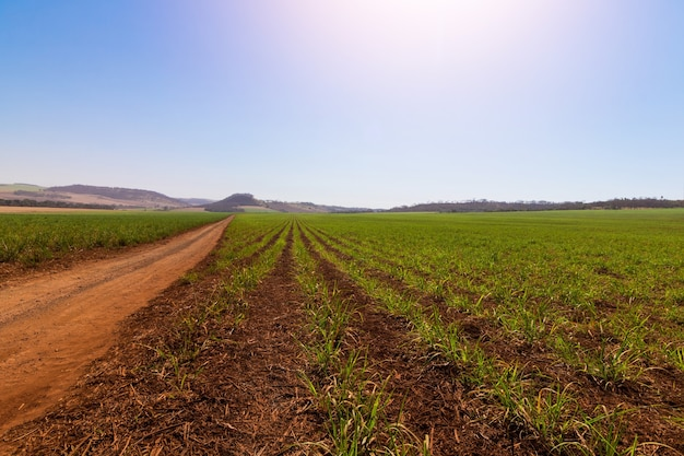 Smal i młode sadzenie trzciny cukrowej na farmie z niebem z chmurami. koncepcja obrazu gospodarki rolnej ameryki południowej.