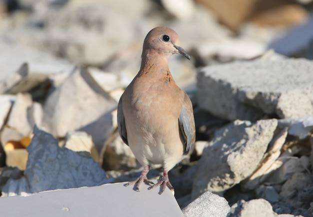 Śmiejąca się gołębica (spilopelia senegalensis) siedzi na kamieniach z bliska