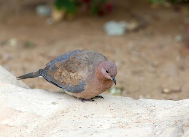 Śmiejąca się gołębica (spilopelia senegalensis) siedzi na ziemi z bliska