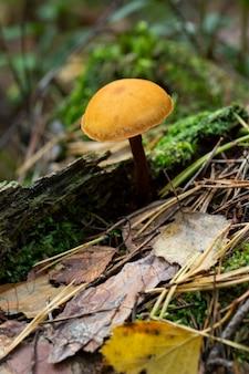 Śmiertelnie trujący grzyb galerina marginata w lesie łęgowym. znany jako dzwon pogrzebowy, śmiertelna jarmułka lub śmiertelna galerina.