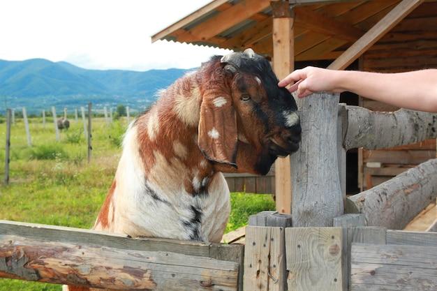 Śmieszna buzia kozy nubijskiej, brązowej kozy. portret brązowy koza w zoo kontaktowe.