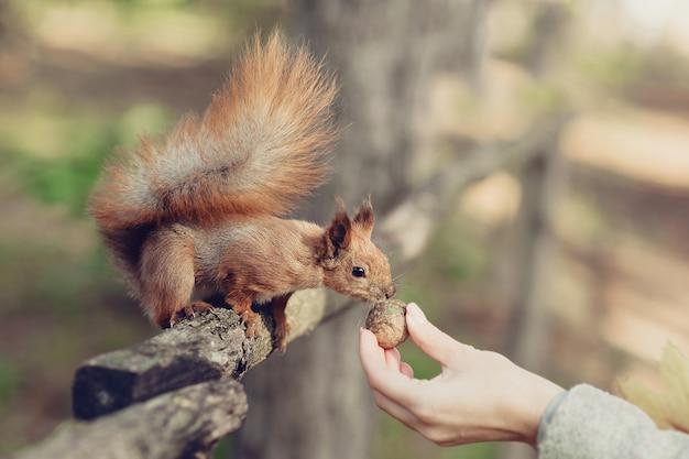 Śmieszna czerwona wiewiórka bierze orzecha włoskiego z ręki w parku