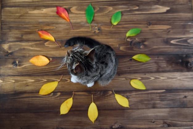 Śmieszna domowa kiciunia siedzi na drewnianym tle po środku okręgu jesień liście. cudowne zwierzaki.