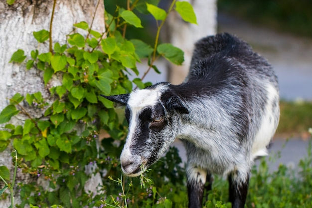 Śmieszna koza na zielonej łące żuje trawę