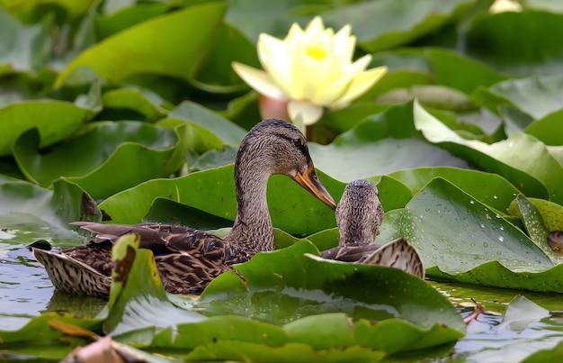 Śmieszna krzyżówka i kwitnący lotos wodny rano po deszczu w stawie