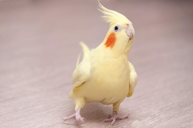 Śmieszna papuga nimfa żółta na podłodze w domu.