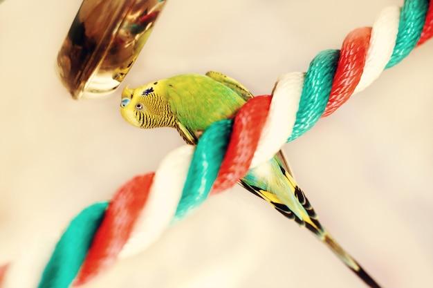 Śmieszna papużka falista. papuga budgie siedzi na liny i grać