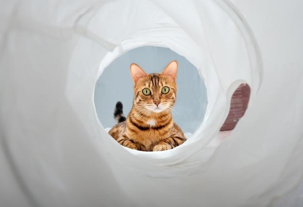 Śmieszna twarz kota bengalskiego patrzącego przez tunel do zabawy.