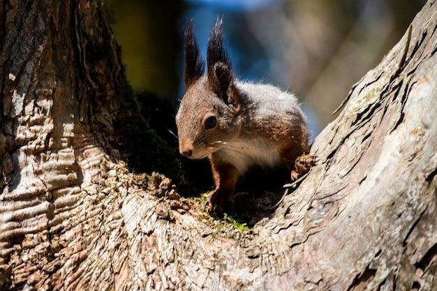Śmieszna wiewiórka zbliżenie, wiewiórka na drzewie