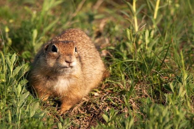 Śmieszna wiewiórka ziemna (spermophilus pygmaeus) w trawie.