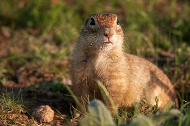 Śmieszna wiewiórka ziemna spermophilus pygmaeus w trawie