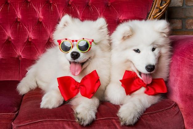 Śmieszne białe puszyste samojedy z czerwonymi kokardkami na czerwonej luksusowej kanapie. impreza z psami