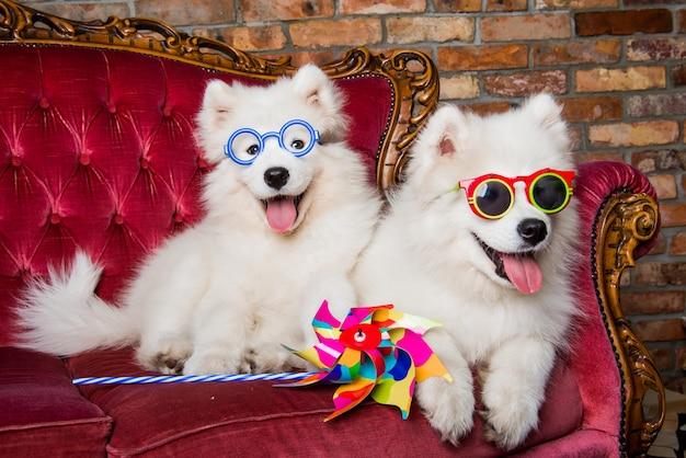 Śmieszne białe puszyste szczenięta samoyed psy w okularach na czerwonej luksusowej kanapie. impreza z psami