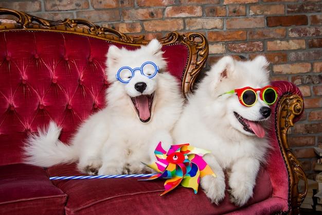 Śmieszne białe szczenięta psów samoyed na czerwonych luksusowych okularach przeciwsłonecznych na kanapie