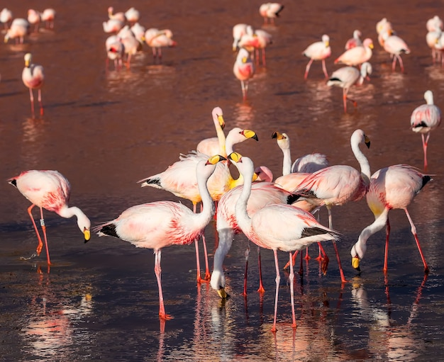Śmieszne flamingi jamesa rozmawiają w laguna colorada. boliwia. ameryka południowa