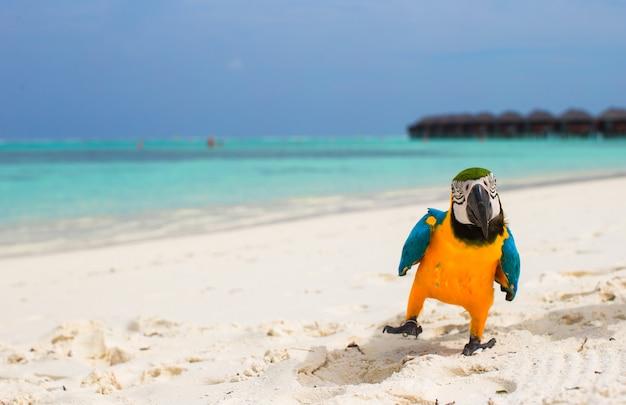 Śmieszne jasne kolorowe papugi na białym piasku na malediwach