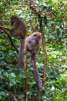 Śmieszne lemury bambusowe na gałęzi drzewa obserwują gości