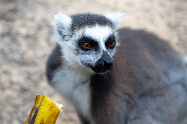 Śmieszne lemury z ogoniastymi ogonami w ich naturalnym środowisku