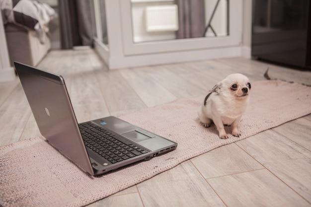 Śmieszne małe chihuahua patrząc przestraszony siedząc przed laptopem