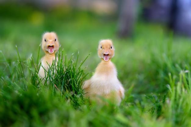 Śmieszne małe żółte kaczątko na wiosennej zielonej trawie