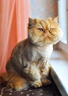 Śmieszne oporządzenie czerwony kot perski siedzi na parapecie