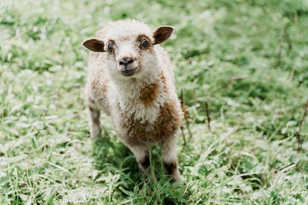 Śmieszne owiec patrzy w kamerę na zielonym polu
