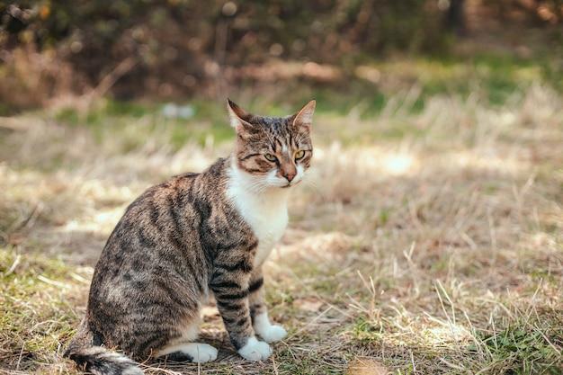 Śmieszne paski szary dorosły kot z długimi wąsami siedzi na trawie w parku.