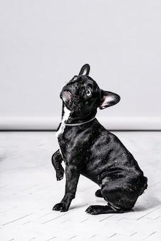 Śmieszne portrety czarnego buldoga francuskiego