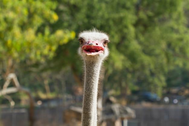 Śmieszne zbliżenie struś głowy (struthio camelus)