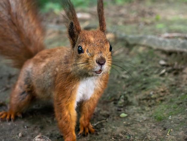 Śmieszne zbliżenie wiewiórka.